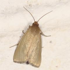 Heliocheilus (genus) (Heliothine moths) at Melba, ACT - 30 Jan 2021 by kasiaaus