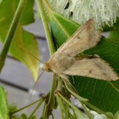 Helicoverpa armigera (Cotton bollworm, Corn earworm) at Rugosa at Yass River - 5 Feb 2021 by SenexRugosus