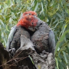 Callocephalon fimbriatum (Gang-gang Cockatoo) at Point One - 5 Feb 2021 by JackyF