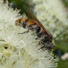 Radumeris tasmaniensis (Yellow Hairy Flower Wasp) at Rugosa at Yass River - 5 Feb 2021 by SenexRugosus