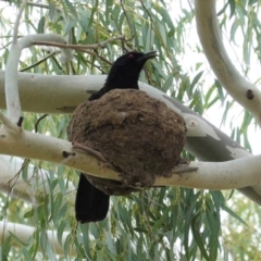 Corcorax melanorhamphos (White-winged Chough) at Deakin, ACT - 4 Feb 2021 by JackyF