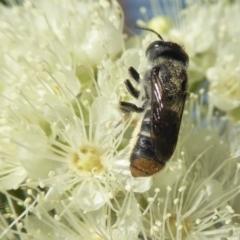 Megachile sp. (several subgenera) (Resin Bees) at Rugosa at Yass River - 4 Feb 2021 by SenexRugosus