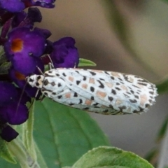 Utetheisa pulchelloides (Heliotrope Moth) at Hughes, ACT - 4 Feb 2021 by JackyF