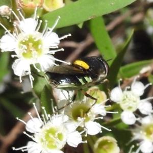 Odontomyia sp. (genus) at ANBG - 5 Feb 2021