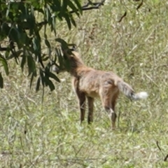 Vulpes vulpes (Red Fox) at Red Hill Nature Reserve - 3 Feb 2021 by JackyF