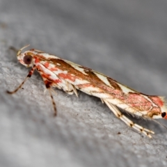 Macarostola ida (A Leaf Miner) at Melba, ACT - 20 Nov 2020 by Bron