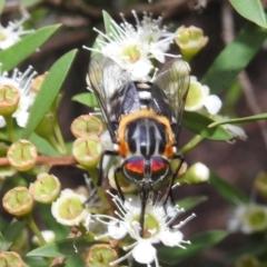 Scaptia (Scaptia) auriflua (A flower-feeding march fly) at Acton, ACT - 5 Feb 2021 by HelenCross