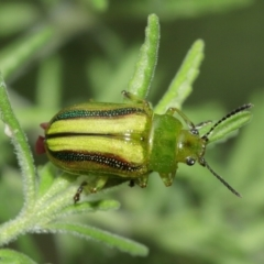 Calomela vittata (Acacia leaf beetle) at ANBG - 5 Feb 2021 by TimL