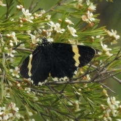 Eutrichopidia latinus (Yellow-banded Day-moth) at Aranda, ACT - 5 Feb 2021 by KMcCue