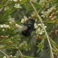 Rutilia (Chrysorutilia) sp. (genus & subgenus) (A Bristle Fly) at Aranda, ACT - 5 Feb 2021 by KMcCue