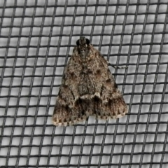 Spectrotrota fimbrialis (A Pyralid moth) at Aranda, ACT - 5 Feb 2021 by KMcCue