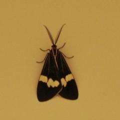 Nyctemera amicus (Senecio or Magpie moth) at Aranda, ACT - 5 Feb 2021 by KMcCue