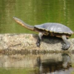 Chelodina longicollis (Eastern Long-neck Turtle) at Namadgi National Park - 3 Feb 2021 by Christine
