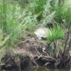 Chelodina longicollis (Eastern Long-neck Turtle) at Paddys River, ACT - 3 Feb 2021 by Christine