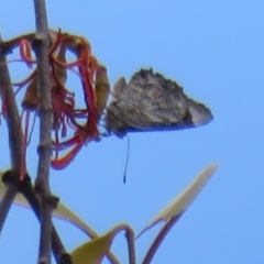 Ogyris olane (Broad-margined Azure) at Tennent, ACT - 3 Feb 2021 by Christine