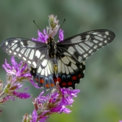 Papilio anactus (Dainty Swallowtail) at ANBG - 3 Feb 2021 by WHall