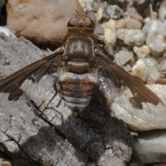 Balaana sp. (genus) (Bee Fly) at ANBG - 3 Feb 2021 by WHall