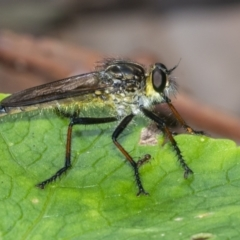 Zosteria rosevillensis (A robber fly) at ANBG - 3 Feb 2021 by WHall