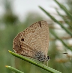 Prosotas felderi (Short-tailed Line-blue) at Murrumbateman, NSW - 5 Feb 2021 by SimoneC