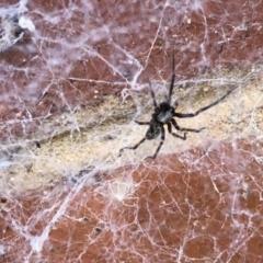 Badumna insignis (Black House Spider) at Aranda, ACT - 6 Feb 2021 by KMcCue