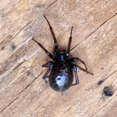Steatoda grossa (Cupboard or Brown house spider) at Aranda, ACT - 6 Feb 2021 by KMcCue