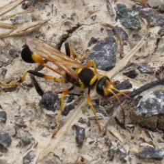 Sceliphron laetum (Common mud dauber wasp) at Jerrabomberra Wetlands - 5 Feb 2021 by RodDeb