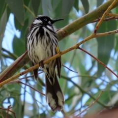 Phylidonyris novaehollandiae (New Holland Honeyeater) at Jerrabomberra Wetlands - 5 Feb 2021 by RodDeb