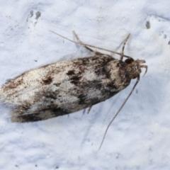Barea (genus) (A concealer moth) at Melba, ACT - 30 Jan 2021 by kasiaaus