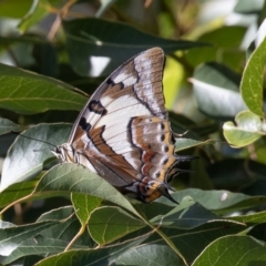 Charaxes sempronius (Tailed Emperor) at Cotter Reserve - 6 Feb 2021 by rawshorty