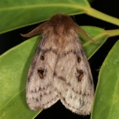 Leptocneria reducta (White cedar moth) at Melba, ACT - 30 Jan 2021 by kasiaaus
