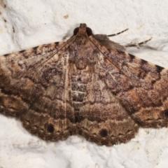 Diatenes aglossoides (An Eribid moth) at Melba, ACT - 30 Jan 2021 by kasiaaus