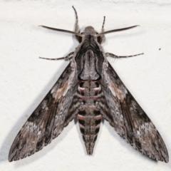 Agrius convolvuli (Convolvulus Hawk Moth) at Melba, ACT - 30 Jan 2021 by kasiaaus