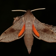 Hippotion scrofa (Coprosma Hawk Moth) at Melba, ACT - 30 Jan 2021 by kasiaaus