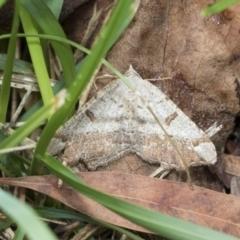 Dissomorphia australiaria (Dashed Geometrid) at Higgins, ACT - 4 Feb 2021 by AlisonMilton
