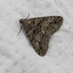 Lipogya exprimataria (Jagged Bark Moth) at Higgins, ACT - 4 Feb 2021 by AlisonMilton