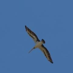 Pelecanus conspicillatus (Australian Pelican) at Cook, ACT - 6 Feb 2021 by Tammy