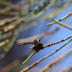 Cerdistus sp. (genus) (Robber fly) at Parkes, ACT - 2 Feb 2021 by Tammy