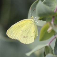 Eurema smilax (Small grass-yellow) at Higgins, ACT - 6 Feb 2021 by AlisonMilton