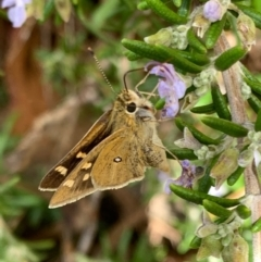 Trapezites luteus (Yellow Ochre, Rare White-spot Skipper) at Murrumbateman, NSW - 6 Feb 2021 by SimoneC