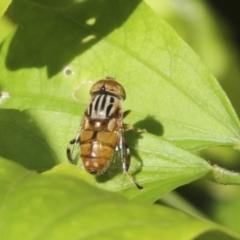 Eristalinus punctulatus (Native Drone Fly) at Higgins, ACT - 29 Jan 2021 by AlisonMilton