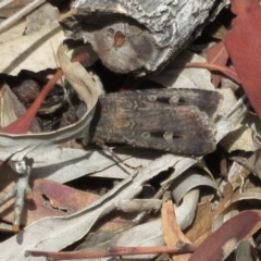 Agrotis infusa (Bogong Moth, Common Cutworm) at Black Mountain - 30 Jan 2021 by Christine