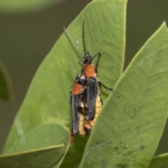 Chauliognathus tricolor (Tricolor soldier beetle) at Higgins, ACT - 4 Feb 2021 by AlisonMilton