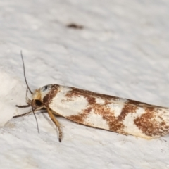 Palimmeces habrophanes (A Concealer moth) at Melba, ACT - 31 Jan 2021 by kasiaaus