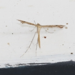 Stenoptilodes taprobanes (Plume Moth) at Higgins, ACT - 1 Feb 2021 by AlisonMilton