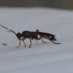 Ichneumon promissorius (Banded caterpillar parasite wasp) at Higgins, ACT - 29 Jan 2021 by AlisonMilton