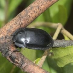 Pterohelaeus striatopunctatus (Darkling beetle) at Higgins, ACT - 4 Feb 2021 by AlisonMilton