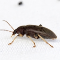 Alleculinae sp. (subfamily) (Unidentified comb-clawed beetle) at Higgins, ACT - 29 Jan 2021 by AlisonMilton