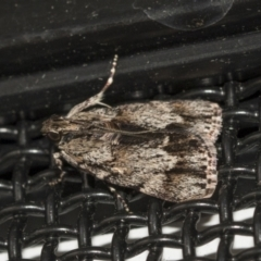 Spectrotrota fimbrialis (A Pyralid moth) at Higgins, ACT - 3 Feb 2021 by AlisonMilton