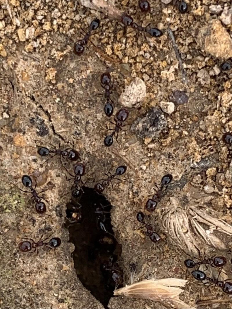 Monomorium sp. (genus) at Murrumbateman, NSW - 5 Feb 2021