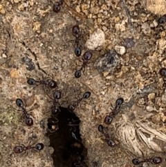 Monomorium sp. (genus) (A Monomorium ant) at Murrumbateman, NSW - 5 Feb 2021 by SimoneC